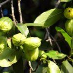 ¿La Garcinia Cambogia ayuda a reducir la grasa corporal?
