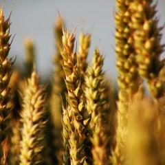 ¿Qué nos aportan los cereales?